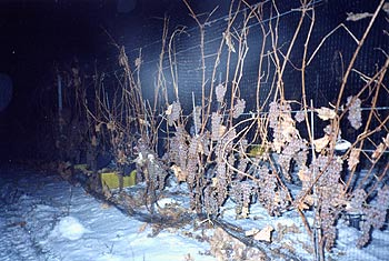 Harvesting Icewine in the cold of night